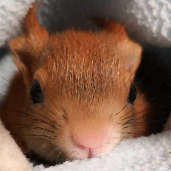 Baby-Eichhörnchen