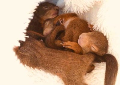 Schlafende Eichhörnchen-Babys